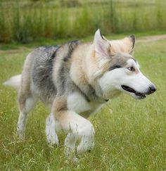 TAMASKAN DOG never heard of this breed, beauty...looks like the Utonagan