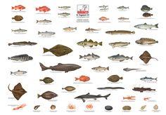 Ingason Seafood, iceland prima, export from Iceland Saltwater Aquarium Fish, Live Aquarium Fish, Tropical Aquarium, Freshwater Aquarium Fish, Animals Name In English, Goldfish Types, Fish Chart, Oscar Fish, Homer Alaska