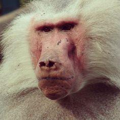 Augsburger Monkey