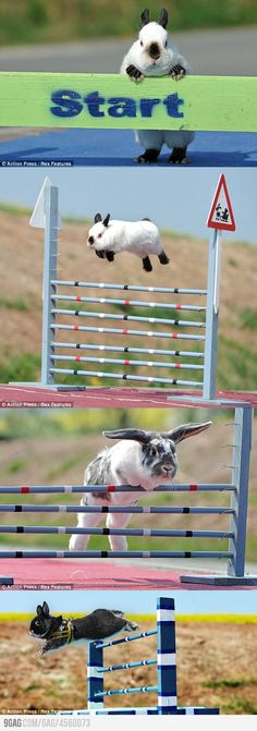 Yes, you could train rabbits to jump jumps like #horses!
