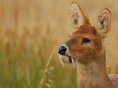 water deer close