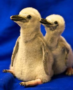 The newest, cutest baby animals from the world's accredited zoos and aquariums. Cute baby animal pictures and videos by date, species, and institution. Penguin Pictures, Baby Animals Pictures, Cute Baby Animals, Emperor Penguin, Baby Penguins, Tuxedo, Picture Video, Cute Babies, Wildlife
