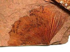Gingko leaf fossil