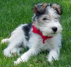 "Wire Hair Fox Terrier puppy ""Nicky""....."