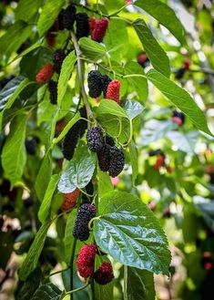 Backyard Everbearing Mulberry: a shrubby fruit tree from the fig household. It produces lots of of s Mulberry Fruit, Mulberry Leaf, Mulberry Plant, Mulberry Bush, Fruit Basket Manga, Fruits Basket, Sassafras Tree, Early Spring Flowers, Pot Plante