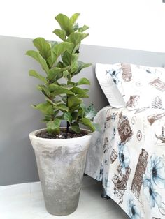 Half painted wall and ficus lyrata