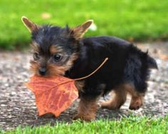 The Yorkie (Yorkshire Terrier) not much bigger than the leaf. Yorshire Terrier, Positive Dog Training, Yorky, Yorkshire Terrier Puppies, Yorkie Puppy, Chihuahua, Rottweiler Puppies, Poodle Puppies, Puppy Breeds
