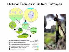 eOrganic - biological controls in tree crops.