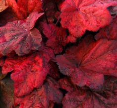 Heuchera 'Autumn Leaves' - Coral Bells - Saxifragaceae (The Saxifrage Family) - flower colour white & cream - Phoenix Perennials. Buy Plants, Shade Plants, Garden Plants, Sun Garden, Autumn Garden, Dream Garden, Coral Bells Plant, Coral Bells Heuchera, Plant Catalogs