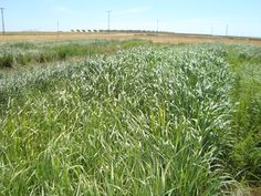 Switchgrass trials in Albacete (Southern Spain). June 15th. 2012