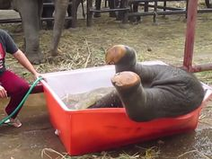 If only human kids liked baths this much! Double Trouble the baby elephant loves taking a bath. He might even love it more than Barry the pug! Hilarious video!