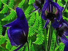 Monkshood-wow, never saw this before. Brilliant color