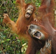 These orangutans look like they might fall out of the tree if they laugh any harder @Shelli Anderson