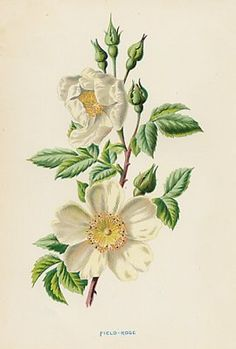 images of botanicals | Antique Botanical Print, White Rose, circa 1890