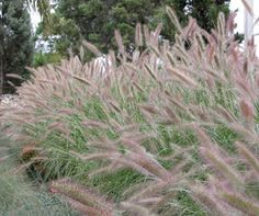 Pennisetum alopecuroides PURPLE LEA® 'PA400' ; a clumping growth habit with arching leaves, 80 - 90cm high x 80 - 90cm wide; grows in full sun to part shade, suits sandy to heavy clay soils, tolerates frost and drought. Attracts native birds. Low seed viability so not a great risk of escaping to local bushland