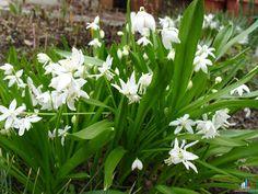 Пролеска сибирская Skilla sibirica - Декоративные растения – очень интересное природы явление - Форум-Град