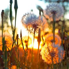 Dandelions in the sunshine photography sky outdoors flowers sun Foto Gif, Dandelion Wish, Dandelion Art, Belleza Natural, Belle Photo, Pretty Pictures, Pretty Pics, Beautiful World, Simply Beautiful