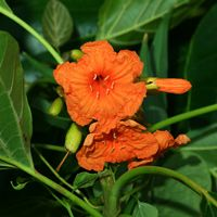 Orange Hawaiian Flowers - Cordia subcordata – Kou