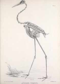 Osteologia avium, or, A sketch of the osteology of birds /. [Wellington] :Published by R. Hobson, Wellington, Salop,1858-1875