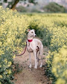Whippet on a path between yellow flowers. Beautiful Dog Breeds, Beautiful Dogs, Whippet Puppies, Whippets, Hound Breeds, Grey Hound Dog, Puppy Care, Dog Travel, Italian Greyhound