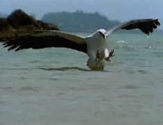 Sea eagle snatches a venomous sea snake from the water. The banded sea snake packs enough poison to kill a human. But to a passing eagle, the snake looks like a tasty—if dangerous—morsel.