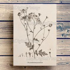 Chrysanthemum, Floral print, Antique flower print, Botanical print vintage, Flower illustration, Floral art, Image download JPG PNG 300dpi