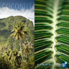 The coconut tree, an invaluable resource for Polynesian people and an essential element of our magnificent landscapes  http://www.etahititravel.com/