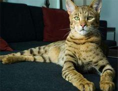Ashera cat - African Serval + Asian leopard. Designer cat...hmmm