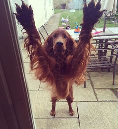 Hey mum, take a picture of my armpits #irishsetter #redsetter #dogsofinstagram…