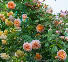 A Rose is a Rose...: Rose Descriptions