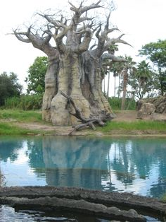 Baobab Tree - found in Southern Africa.  You can live off a Boabab Tree if necessary.