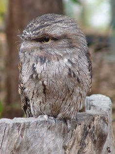 Tawny Frogmouth Owl - photo taken by resort owner Rob Prettejohn Pretty Birds, Beautiful Birds, Animals Beautiful, Animals And Pets, Baby Animals, Cute Animals, Owl Pictures, Wild Creatures, Australian Animals