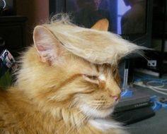 Latest Internet Trend: Donald Trump Cats