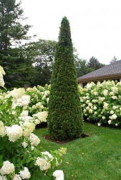 arborvitae and limelight hydrangea Plants, White Gardens, Gorgeous Gardens, Hydrangea Garden, Outdoor Gardens, Moon Garden, Trees To Plant, Beautiful Gardens, Landscaping Plants