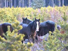 Canadian Wild Horses w/ Ken McLeod, T. Porter & C. Downer