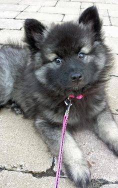 redwingjohnny:  Nova the Keeshond Nova is a playful puppy that loves people and other dogs. Her daily routine consists of sleeping, eating, belly rubs, fetch, and more eating! She is a bottomless pit that will eat as many treats as you would give to her. She is a little troublemaker as well but no one stays mad at her for long because of her sweet face and wagging tail!  via dailypuppy.com