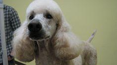 Standard Poodles For Sale Nc For Jul Secy Poodlejul Took