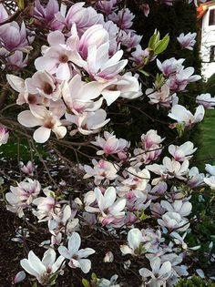 Tote Bag - Asian Magnolias by VIDA VIDA oztTombVMA