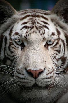 White Tiger--so awesome looking