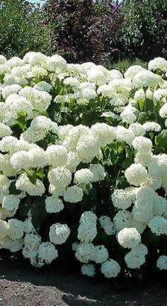 Moon Garden, Dream Garden, Part Shade Plants, Annabelle Hydrangea, Hydrangea Garden, Planting Plan, Home Landscaping, Enchanted Garden, Farm Gardens