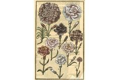 Hand-Colored Redouté Carnations, C. 1830 | One Kings Lane