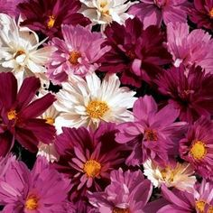 Cosmos Seeds for sale - 26 Top Varieties - Dwarf and Tall - Sensation, Sea Shells and much more - Annual Flower Seeds