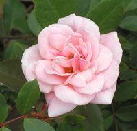 Cecil Brunner Climbing Roses. Cecile Brunner Climbing Roses