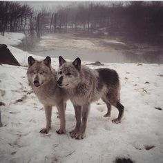 By @carpathian_wolves #shoutout #wolfrescue