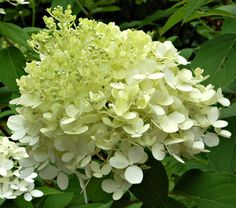 Hydrangea paniculata 'Limelight'  Reliable bloomer even in cold climates. Fast growing, 'Limelight' makes a shrub 7-8 feet all and like all the Paniculata Hydrangeas, it is outstandingly cold hardy, over-wintering successfully in USDA Zone 3.