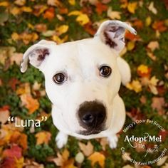 I was rescued twice..3rd time's the charm? LUNA- Age: 4-5 Weight: 55-60 Dogs: I'm pretty picky so probably not. I do like puppies though as I was a mommy many times before Cats: No thanks! Kids: If they are 9 or older, sure! I just get really excited to see people and might accidentally jump up or knock them over. I am working on it though. I am Luna, Miss always happy! I love people but like I said, I might be too much for little kiddos. I absolutely LOVE taking long walks, hiking…