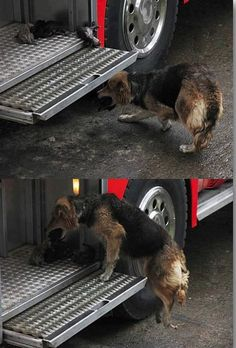 During an early morning response to a house fire in Santa Rosa de Temuco, Chile, firefighters witnessed the unbelievable. A mother dog risked her life to save her puppies from the fire surrounding the burning house, which started because of a car bomb.  The mother dog, Amanda, raced back and forth between the house, putting her 10 day old puppies in the safest place she could find - a firetruck!  She didn't stop racing back into the fire until all of her puppies were safely away from the…