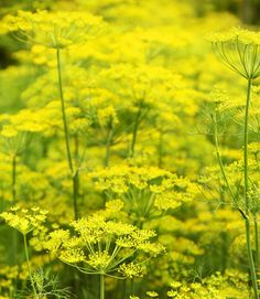 (Anethum graveolens)  DILL Annual By midsummer, vivid chartreuse-yellow blossoms appear atop tall stems with feathery foliage. To ensure a steady supply, sow new seeds each month.   - CountryLiving.com