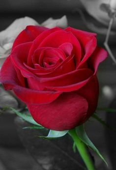 468 Mejores Imágenes De Rosas Rojas En 2019 Red Roses Beautiful