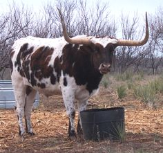 Texas Longhorn (cattle)........This should make every cowgirl smile!!!!